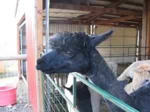 Soft woolly head