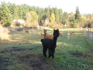 The Llama is keeping guard.