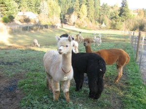 Cascade Alpacas in the field