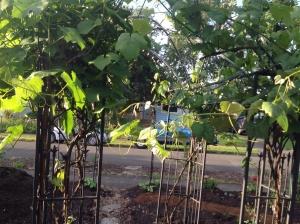 Grape vines are starting.
