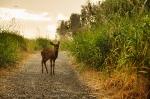 deer in path